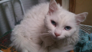 Beautiful Male HYPOALLERGENIC Selkirk Rex