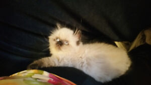 Persian/Himalayan female kitten