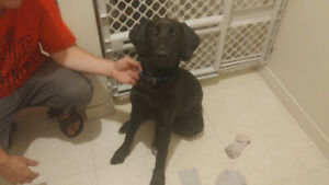 6-month-old male lab ( gone pending pick up )