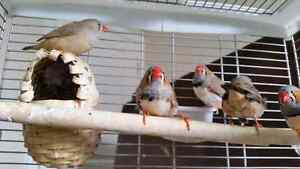 Baby zebra finches for sale. New price $10 each.