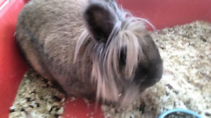 Fluffy angora rabbit with new cage 818-2247