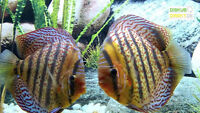German Stendker Discus Now available in Ontario