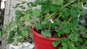 Geraniums in large red pot $15, small spider plant$5,  see ad