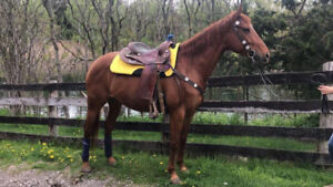 5yr old Appendix Mare for sale
