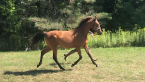 """2018 Registered Half Arabian Filly: """"Justified By Faith"""""""