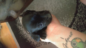 Chihuahua weiner dog puppys for sale
