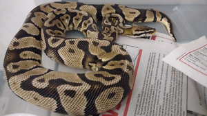 Pastel yellowbelly 1200grams female