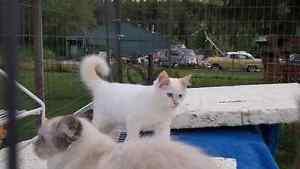 Ragdoll kitten 14 weeks old