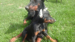 Doberman puppies with ears cropped