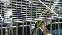 4European Goldfinches (parva) For Sale