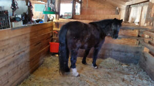 Black Section A Welsh Mountain Pony