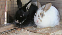 Handraised Rabbits for sale