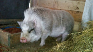 Pot belly pig Free to good home!