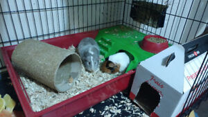 2 Beautiful Female Guinea Pigs
