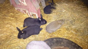 Flemish Giant baby bunnies ready to go