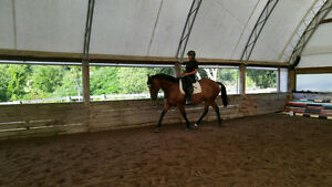 Talented All-rounder 15.3 gelding