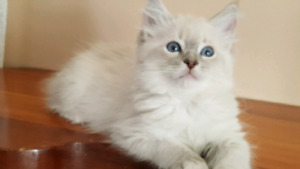 Purebred Ragdoll Blue Lynx male kitten Neutered TICA  Breeder