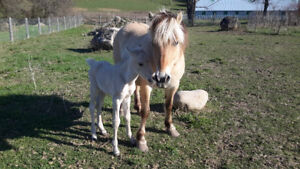 COLT FOR SALE (FJORD MARE X QUARTER BUCKSKIN STUD)