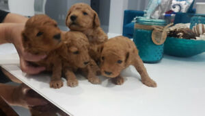 Quality Toy Poodle Puppies