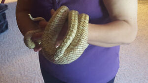 Florida King Snake- Price reduced
