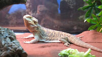 9 month old hand raised Bearded Dragon with 48 Gallon Terrarium.