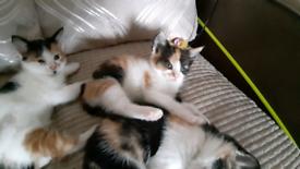 Callie(sold) & Dottie. 2 beautiful Calico kittens. Cwmbran south Wale