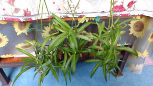 Air-Purifying House Plant Spider Plant Babies