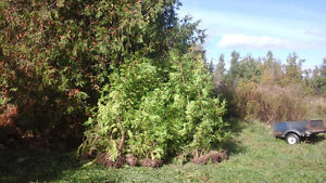 CEDAR TREES FOR HEDGE/BOARDER 4$-8$ TEXT ONLY519 766 3070