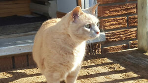 beautiful sweet cat in need of home Belleville Belleville Area image 2