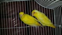 Young pet quality or breeder PARROTLETS