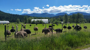 OSTRICH BREEDERS FOR SALE WITH 5 YEAR CONTRACT!
