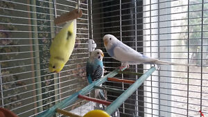 3 Budgie Birds with Large Bird Cage