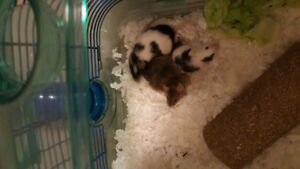 2female 1male adorable fancy mice for rehoming