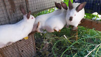 Bunnies/Meat Rabbits For Sale