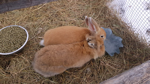 Rabbits both for $20