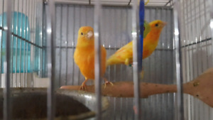 couple canaries avec cage