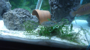 Male jewel cichlid