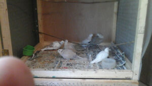 assorted ring neck doves $25
