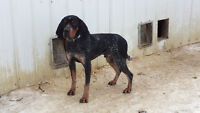 Bluetick hound looking for a loving home