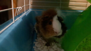 Guinea pig looking forever home