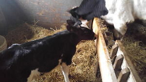 Steer and calf for sale