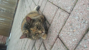 Female  tortishell cat FOUND!