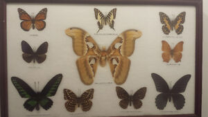 Collection de papillons exotiques Québec City Québec image 1