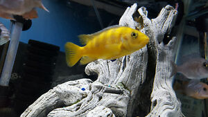 Bumble bee cichlids