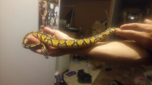 Female Pastel yellow belly ball python. Juvenile