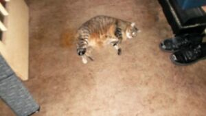 Free Cat to a great home need to rehome asap Stratford Kitchener Area image 5