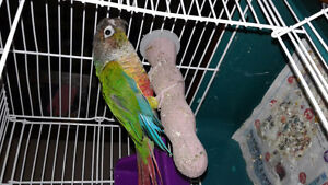 1 year old yellow sided conure for sale 160 obo