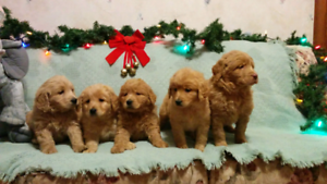 Labradoodle Adopt Dogs Puppies Locally In Ontario
