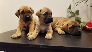 English Mastiff X NOW READY FOR NEW HOMES