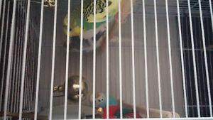 couple de perruches plus cage et accessoires